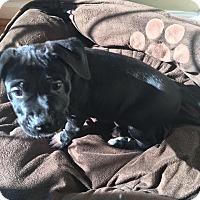 Adopt A Pet :: Samuel - Charlotte, NC