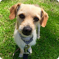 Adopt A Pet :: Davey - Marina del Rey, CA