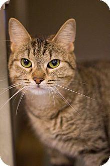 Domestic Shorthair Cat for adoption in Grayslake, Illinois - Kacia