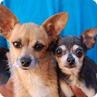 Chihuahua Mix Dog for adoption in Las Vegas, Nevada - Laverne