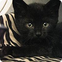 Domestic Shorthair Kitten for adoption in New Rochelle Humane, New York - Jo Jo
