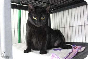 Domestic Shorthair Cat for adoption in Troy, Illinois - Tessa