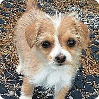 Adopt A Pet :: I'M ADOPTED 7 Dwarfs Happy Lin - Oswego, IL