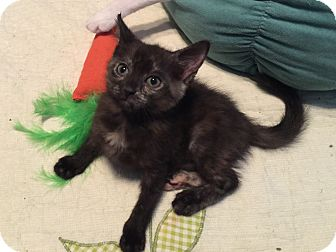 Domestic Shorthair Kitten for adoption in Sarasota, Florida - Jayla