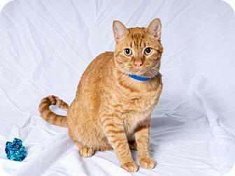 Domestic Shorthair Cat for adoption in Tulsa, Oklahoma - Mooshka