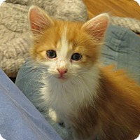 Domestic Shorthair Kitten for adoption in Florence, Kentucky - Hank Williams
