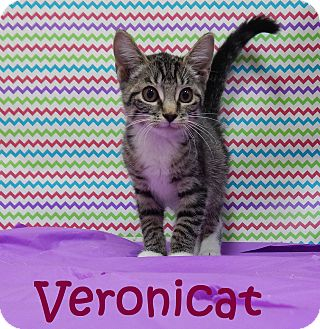 Domestic Shorthair Kitten for adoption in Bucyrus, Ohio - Veronicat