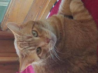 Domestic Mediumhair Cat for adoption in Idyllwild, California - George
