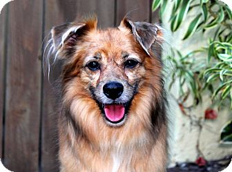 Golden Retriever/Collie Mix Dog for adoption in Los Angeles, California - Tarot