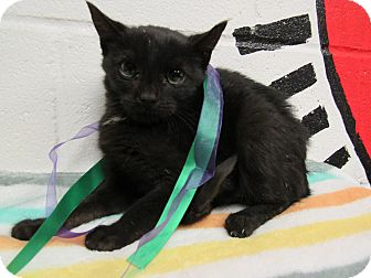 Domestic Mediumhair Kitten for adoption in Rome, Georgia - 16C-1293 (10/16)