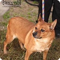 Adopt A Pet :: Foxy - Triangle, VA