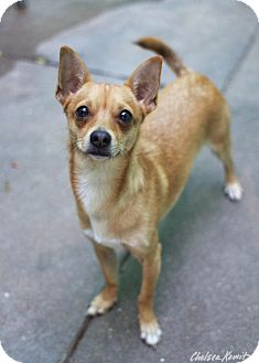 Chihuahua/Basenji Mix Dog for adoption in Los Angeles, California - Angus