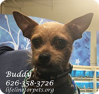 Terrier (Unknown Type, Small) Mix Dog for adoption in Monrovia, California - BUDDY