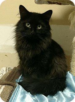Domestic Longhair Cat for adoption in Saginaw, Michigan - Mia