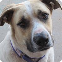 Adopt A Pet :: Buddy - El Paso, TX