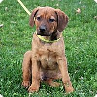 Adopt A Pet :: PUPPY DIXON - Washington, DC