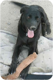 Labrador Retriever Mix Dog for adoption in Thatcher, Arizona - Nellie
