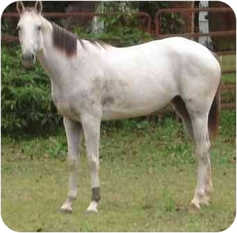 Thoroughbred for adoption in Old Fort, North Carolina - Linda's Salty Lady