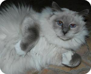 Birman Cat for adoption in Ennis, Texas - Alexander