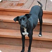 Adopt A Pet :: A323261 Onyx - San Antonio, TX