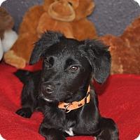 Adopt A Pet :: Jupiter - Tumwater, WA