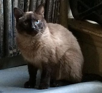 Siamese Cat for adoption in Austin, Texas - Bonnie 2