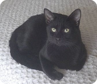 Domestic Shorthair Cat for adoption in Quail Valley, California - Asher