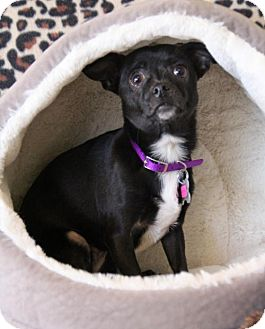 Chihuahua Mix Dog for adoption in Phoenix, Arizona - Mighty