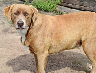 Labrador Retriever Mix Dog for adoption in Iola, Texas - Cooper