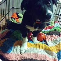 Adopt A Pet :: Kodiak - Ogden, UT