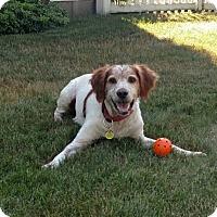 Adopt A Pet :: PA/Opie - Reston, VA
