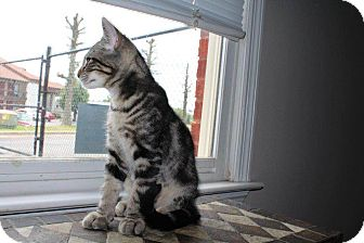 Domestic Shorthair Kitten for adoption in Homewood, Alabama - Tobi