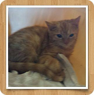 Domestic Shorthair Kitten for adoption in Fayette City, Pennsylvania - Female Tabby