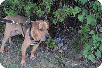 Shar Pei/Beagle Mix Dog for adoption in Yonkers, New York - Rudy