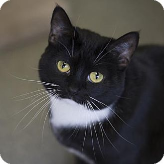 Domestic Shorthair Cat for adoption in Kettering, Ohio - Skittles