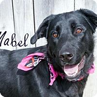 Adopt A Pet :: Mabel - Hamilton, MT