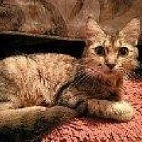 Domestic Shorthair Cat for adoption in Hampton, Virginia - LUPITA