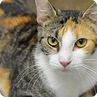 Domestic Shorthair Cat for adoption in Atlanta, Georgia - Holly Ridge161955