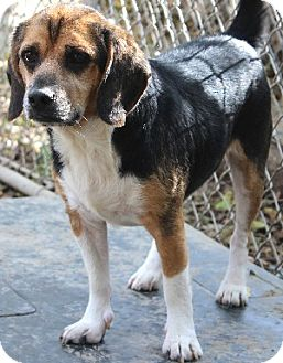 Beagle Mix Dog for adoption in Savannah, Missouri - Sander