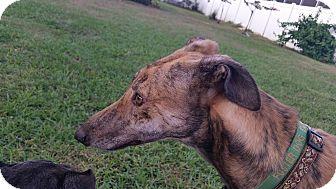 Greyhound Dog for adoption in Brandon, Florida - Biff