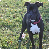 Pit Bull Terrier Dog for adoption in Decatur, Illinois - SHELBY