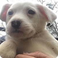 Adopt A Pet :: Jingle - Smithtown, NY