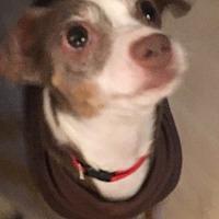 Adopt A Pet :: Poncha - White Settlement, TX