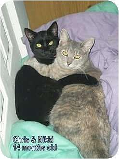 Domestic Shorthair Cat for adoption in Barnegat, New Jersey - Nikki & Chris