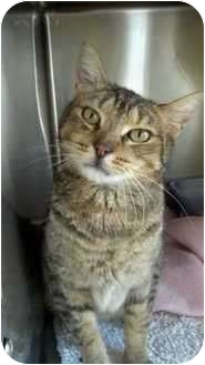 Domestic Shorthair Cat for adoption in Moses Lake, Washington - Sweet William