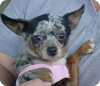 Chihuahua Dog for adoption in Metamora, Indiana - Cherra