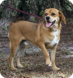 Beagle/Pug Mix Dog for adoption in Gainesville, Florida - Duke SIlver