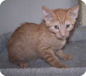 Domestic Shorthair Kitten for adoption in Colorado Springs, Colorado - K-Guffey1-Kennedy