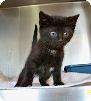 Domestic Shorthair Kitten for adoption in Dover, Ohio - Mars