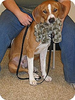 Treeing Walker Coonhound/Hound (Unknown Type) Mix Dog for adoption in Iroquois, Illinois - Ricky